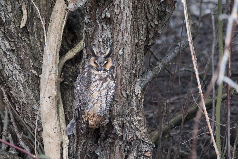 The long-eared owl, also known as the northern long-eared owl, is a species of owl which breeds in Europe, Asia, and North America.