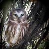 Northern -Saw-whet- Owl - (Aegolius acadicus)-photo .