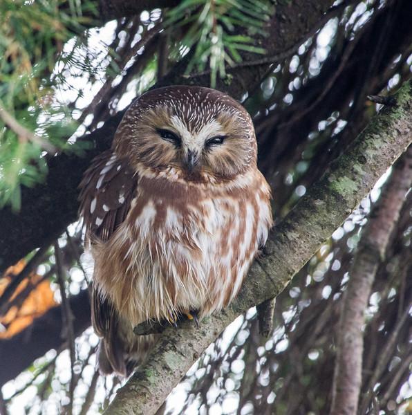 Northen Saw-Whet Owl