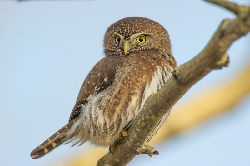 The Northern Pygmy-Owl may be tiny, but it's a ferocious hunter with a taste for songbirds. These owls are mostly dark brown and white, with long tails, smoothly rounded heads, and piercing yellow eyes. They hunt during the day by sitting quietly and surprising their prey. As a defensive measure, songbirds often gather to mob sitting owls until they fly away. Mobbing songbirds can help you find these unobtrusive owls, as can listening for their call, a high-pitched series of toots.