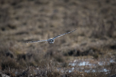 Short-eared Owl (Asio flammeus)