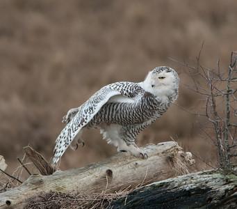 Snowy- Owl- photo-bird- ( Bubo scandiaca)