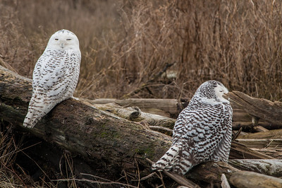Snowy- Owl- photo-bird- ( Bubo scandiaca)