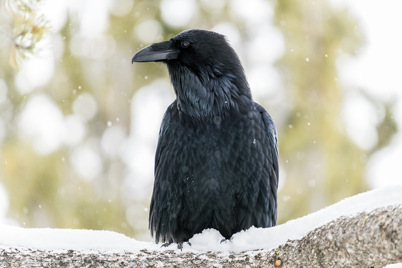 raven-Corvus corax