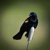 Red -winged -blackbird-photo