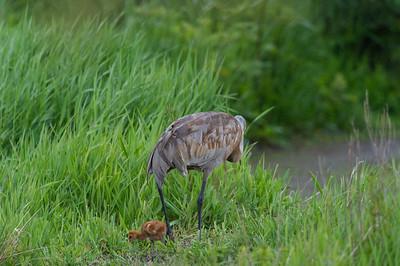 Sandhill- Crane -(Antigone canadensis )-colt-photo-bird-baby