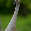 Sandhill -Crane -(Antigone canadensis ) -photo-bird-