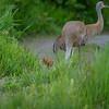 Sandhill -Crane -(Antigone canadensis ) -photo-bird-