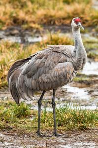 Sandhill Crane (Antigone canadensis )
