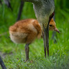 Sandhill- Crane -(Antigone canadensis )-colt-photo-bird-baby
