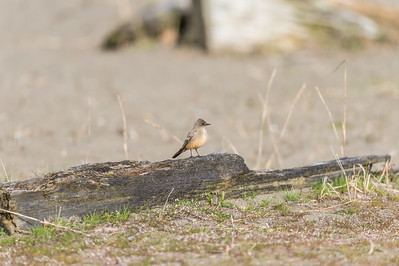 The Say's phoebe (Sayornis saya) is a passerine bird in the tyrant flycatcher family. A common bird in the western United States. ... This bird was named for Thomas Say, the American naturalis