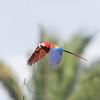 Scarlet Macaws(Ara macao), Corcovado National.Park, Osa Peninsula, Costa Rica