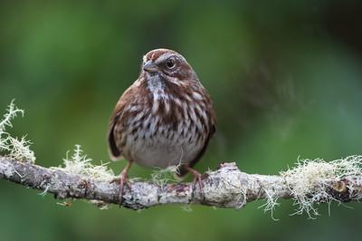 song-sparrow-bird-photo-