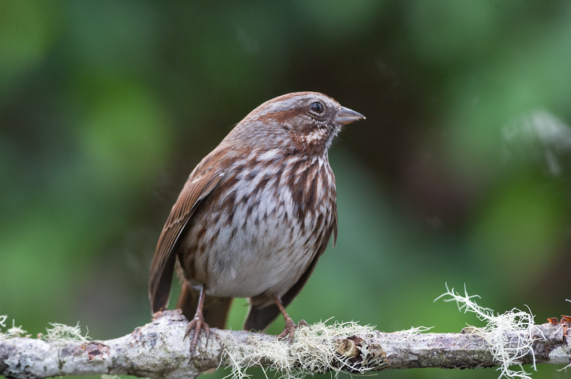song-sparrow-bird-photo-