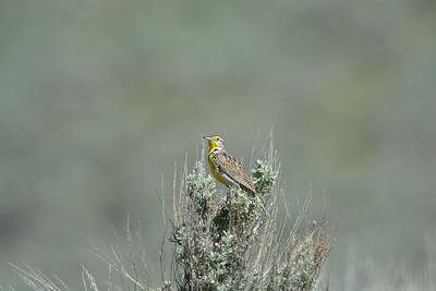 Western Meadowlark (Sturnella neglecta )photo