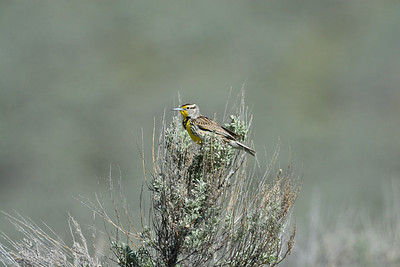 Western Meadowlark (Sturnella neglecta )photo