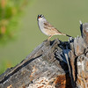 white-crowned-sparrow-bird-photo