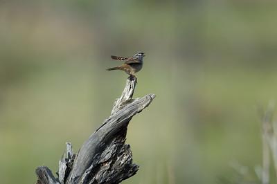 white-crowned-sparrow-bird-photo