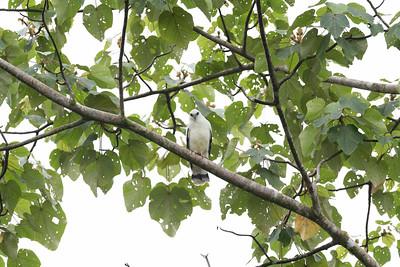 White Hawk(Pseudastur albicollis)