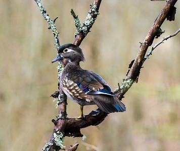 woodduck-bird-photo