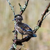woodduck-bird-photo