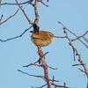 wren-bird troglodytidae
