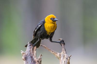 Yellow- Head -Black -Bird -photo