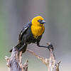 Yellow- Head -Black -Bird -photo