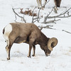 Bighorn -Sheep- animals-wildlife -(Ovis canadensis)-photo