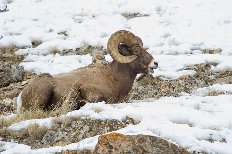 Bighorn -Sheep- animals-wildlife -(Ovis canadensis)-photo