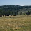 american bison-animal-(bison bison)
