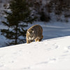 Lynx- Rufus-animal-winter- Photo