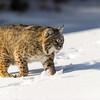 Lynx- Rufus-animal-winter- Photo