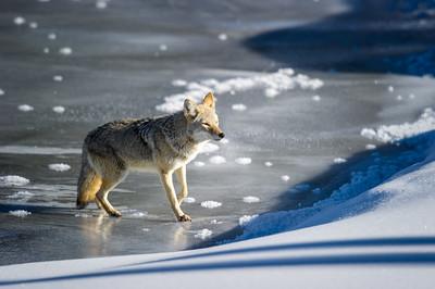 coyote - Canis latrans