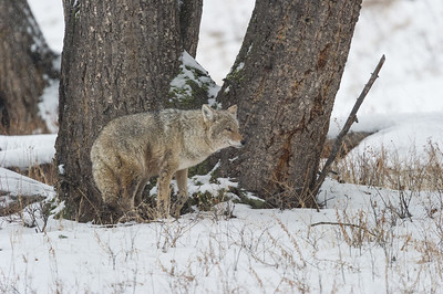 coyote - Canis latrans