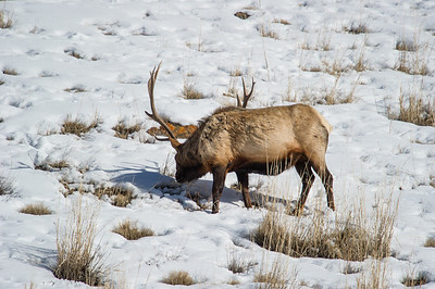 elk,animal,wild,yellowstone,photo