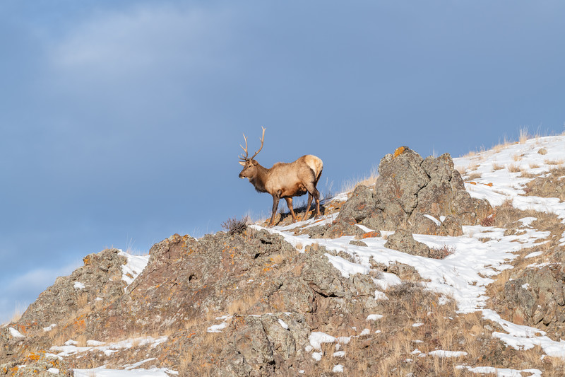 Bull elk (Cervus canadensis) grow antlers for the fall mating season and keep them through the winter, they fall off for the new year's growth