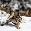 Feet Don't Fail me now ! ( Lynx Canadensis )