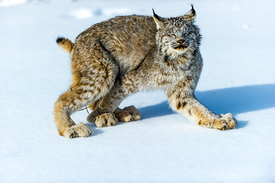Lynx Canadensis Photo