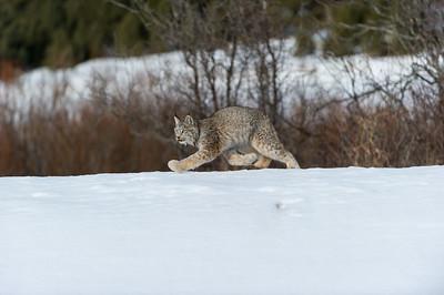Lynx Canadensis Photo