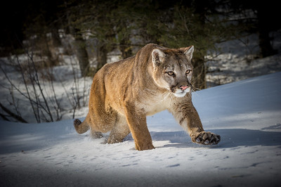 Mountain Lion (Puma Concolor Cougar) Photo