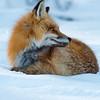 red fox, )Vulpes vulpes