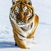 Captive Siberian tiger (Panthera tigris altaica),