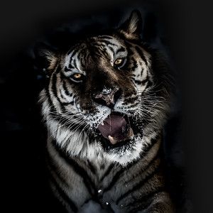 Siberian Tiger Fine Art