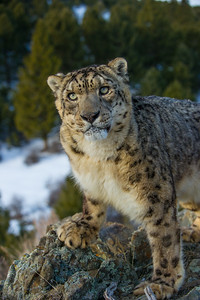 Captive Panthera Uncia photo in winter