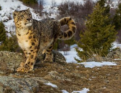 Captive Panthera Uncia photo in winter