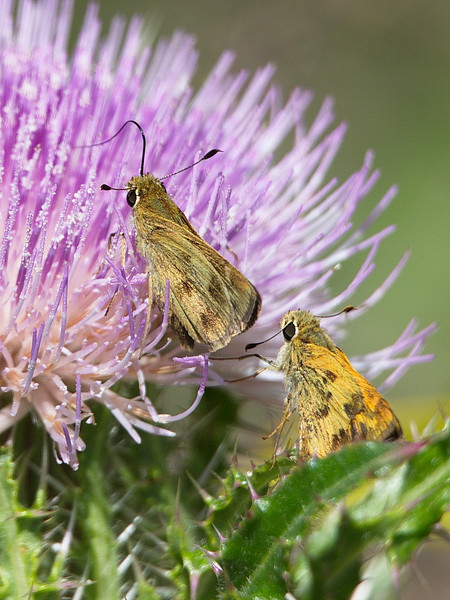 A female whirlabout skipper on the flower, with an interested male, perhaps trying to introduce himself. She totally ignored him.