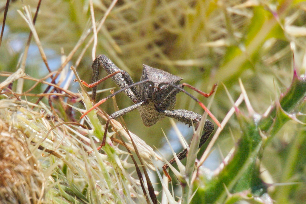 Back among the thistle's thorns we find this strange Florida leaf-footed bug.