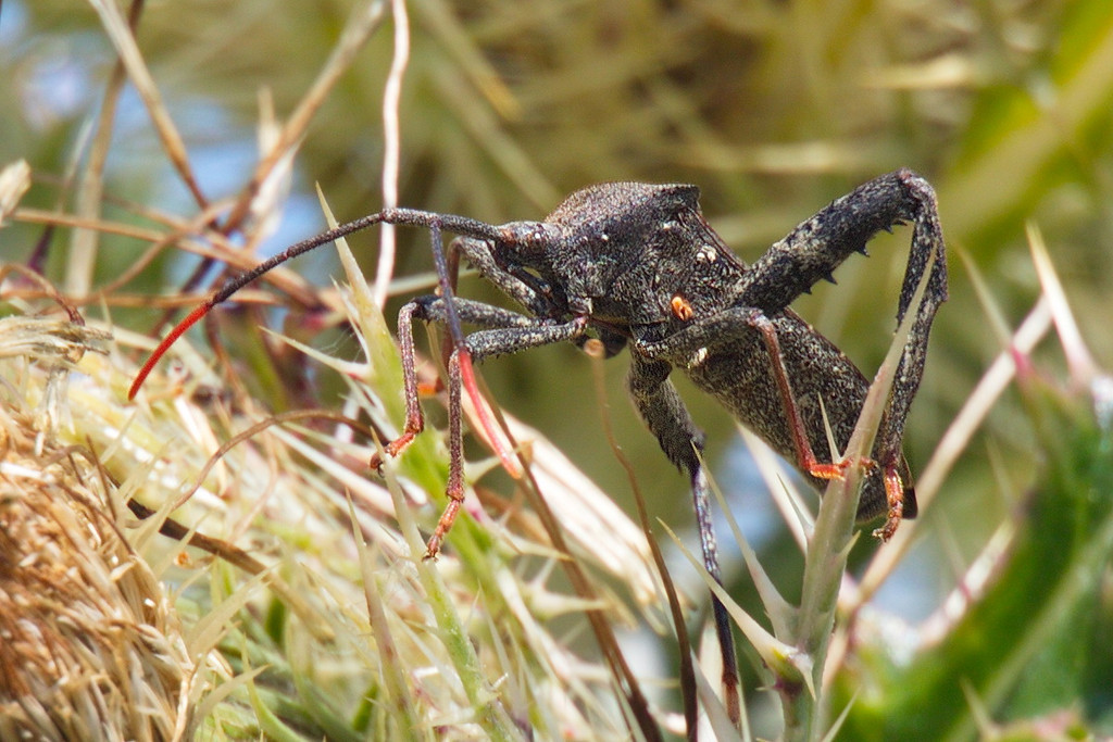 Another view of the Florida leaf-footed bug. The lower parts of its hind legs are somewhat shaped like leaves. I think the bug would be better camouflaged if it were green. This ends my collection of thistle insects I patiently waited to photograph that day.
