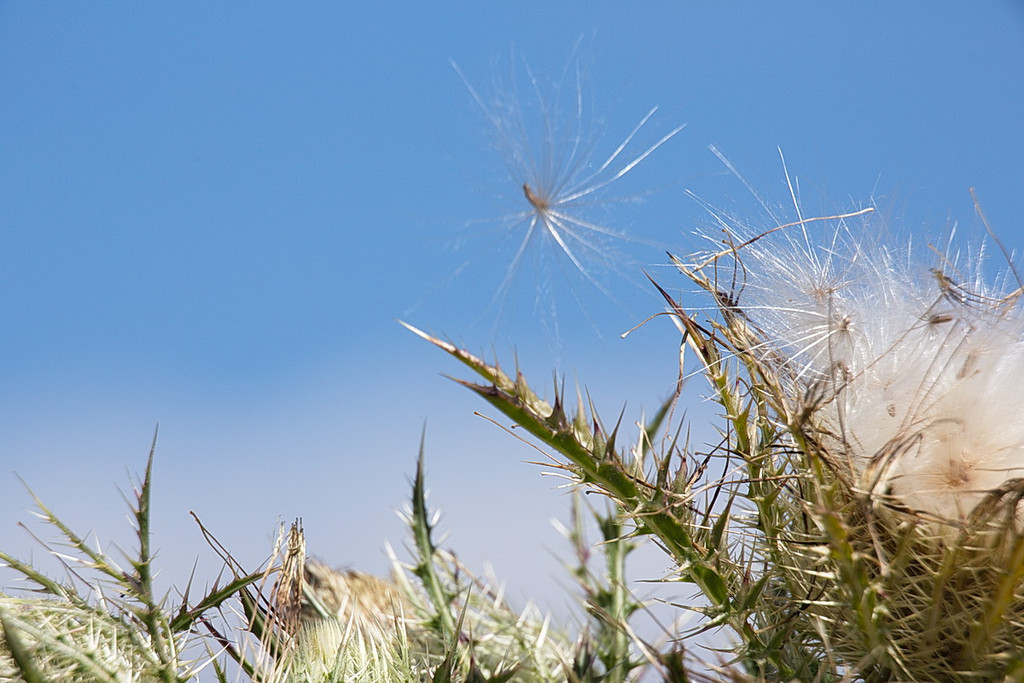When the flower is spent, it turns into a crown of seeds, each one encased in thistledown, which scatters by the wind. Here one just broke free and is flying toward the upper left.